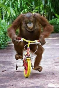 orangutan riding a bicycle